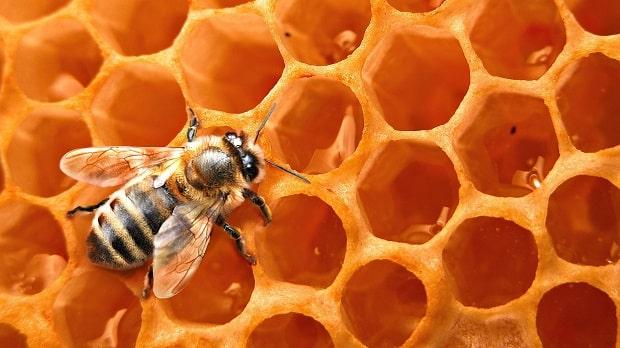 Honey-Bees-