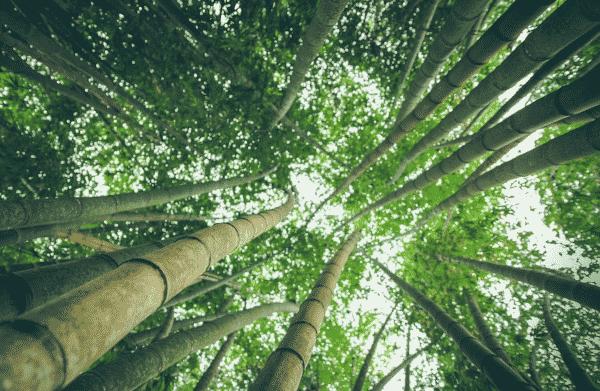 Bamboo.Indian Link